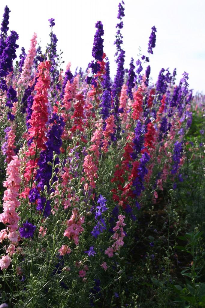 Image result for larkspur flower