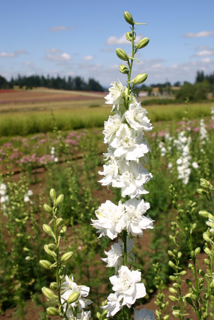 Silver falls seed company larkspur rocket white larkspur rocket white mightylinksfo