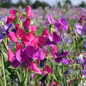 Pea Sweet Perennial Mix