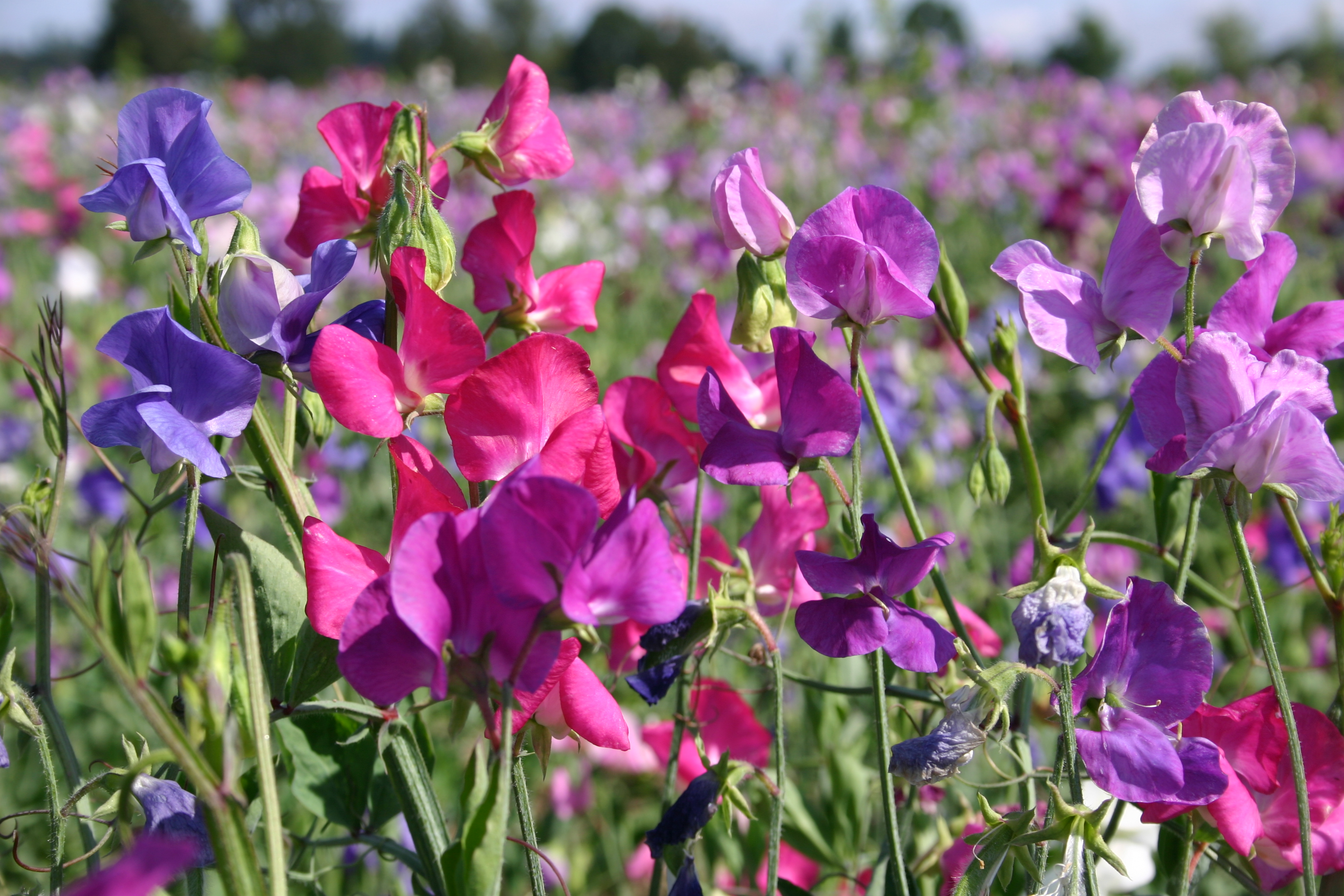 silver falls seed company  pea  sweet perennial mix, Natural flower