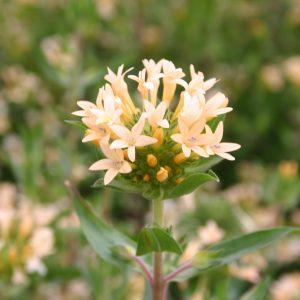 Phlox Large Flowered