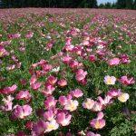 Poppy California Purple Gleam