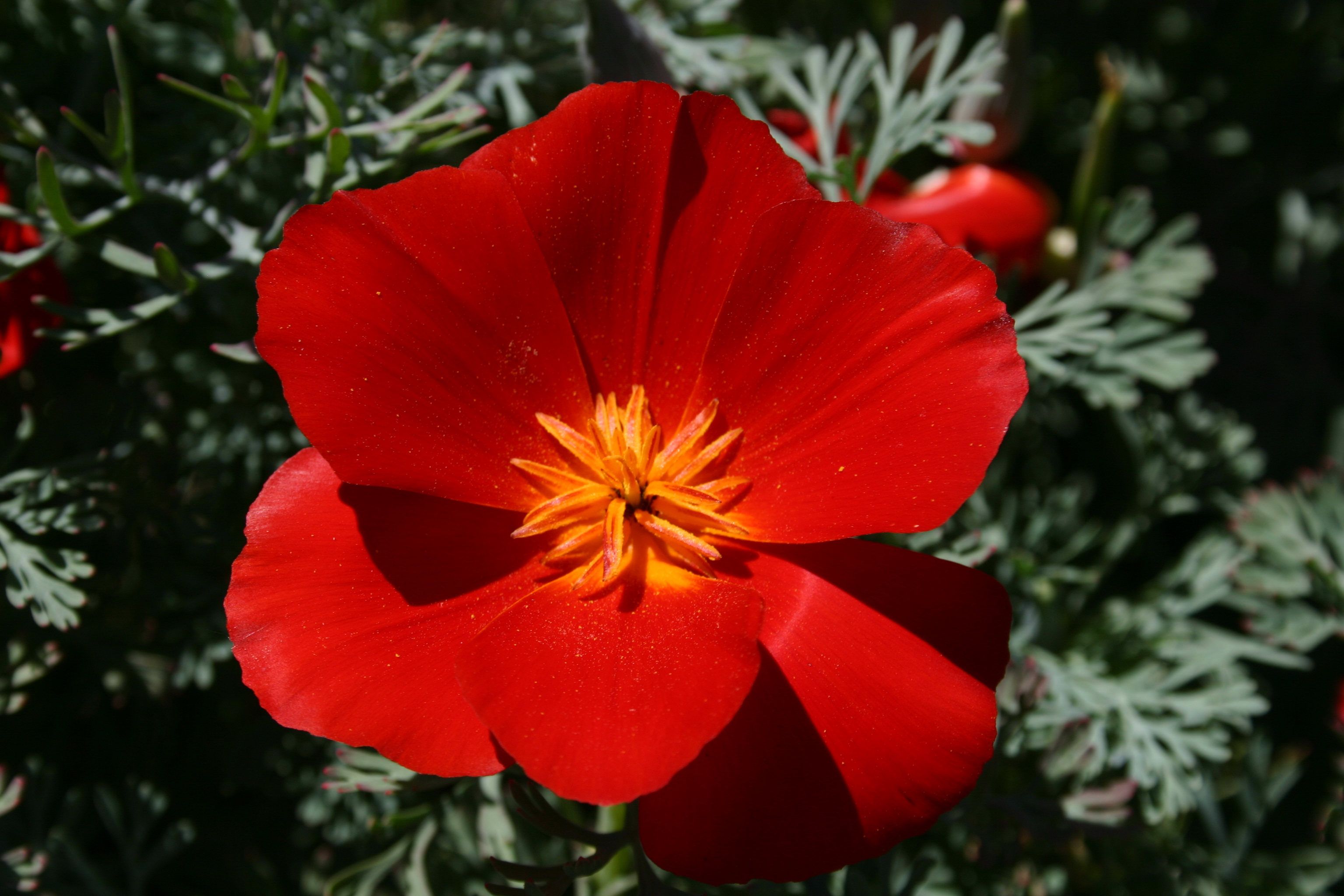 Silver Falls Seed Company Poppy California Red Chief