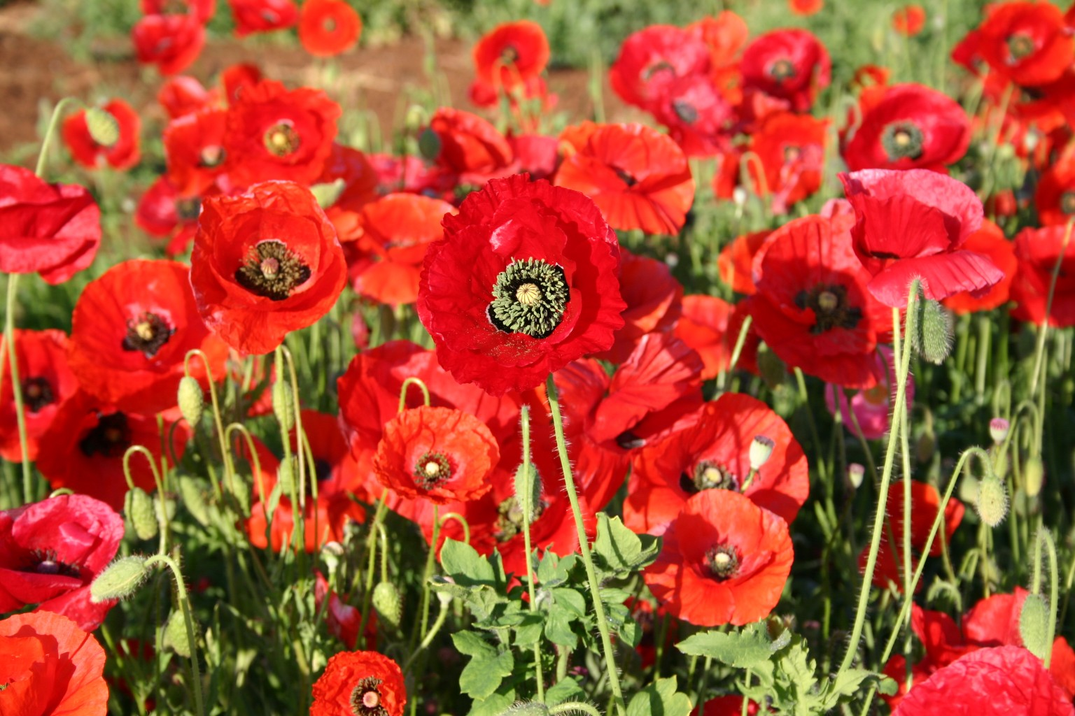 Silver falls seed company red poppy american legion poppy american legion mightylinksfo
