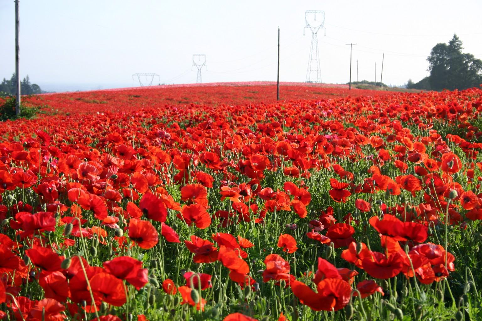 Silver falls seed company red poppy american legion red poppy mightylinksfo