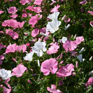 Rose Mallow Mix