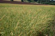 Sloughgrass American