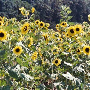 Sunflower Lemon Queen