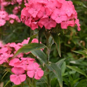 Sweet William Pink