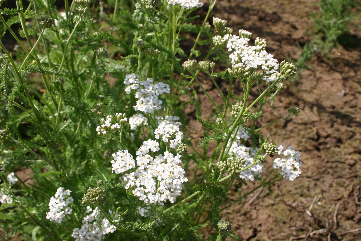 Silver Falls Seed Company White Wildflower Mix
