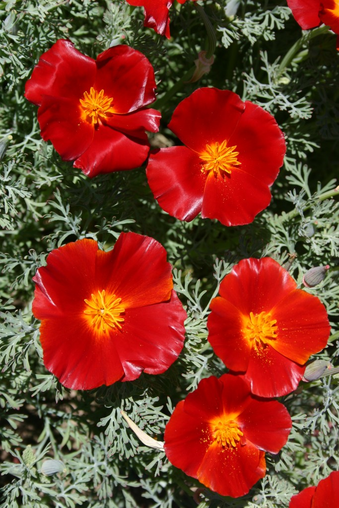 Silver falls seed company poppy california red chief poppy california red chief mightylinksfo Choice Image