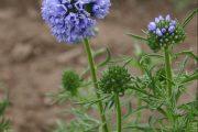 Gilia Blue
