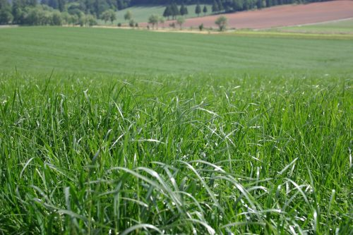 Perennial Ryegrass - Turf-Type